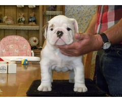 Beautiful Puppies Sired By Croftthorn Stud Dogs