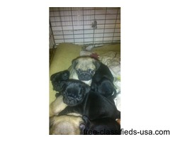 5 Cobby Adorable Kc Registered Pug Puppies