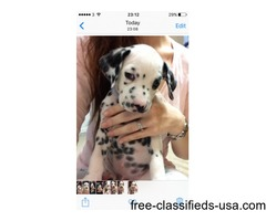 Very Limited Availability Kc Registered Dalmatians