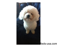 Bichon Frise From Follysyke Puppies