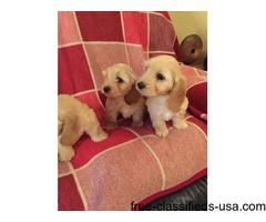 Miniature cocktail puppy's