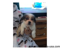 SHIHPOO puppy 8 weeks old