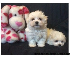 We had a litter of Maltese puppies