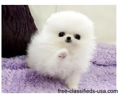 Beautiful TINY Pomeranian Puppies Now