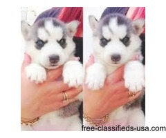 Top Line Blue Siberian Husky Puppies with Blue eyes