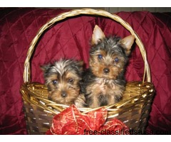 Pure Breed Yorkies puppies adorable 1 female and 1 male,