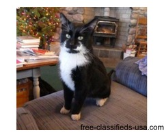 Free black & white male cat ~1-yr old