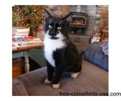 Free black & white male cat ~1-yr old