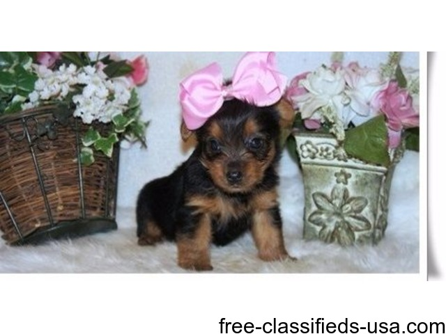 Cute Yorkies For Rehoming Animals Hoboken New Jersey
