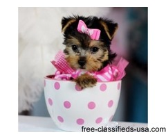 Cute and Lovely Yorkie Puppies