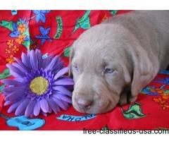 LITTER OF Labrador Retriever PUPPIES READY NOW
