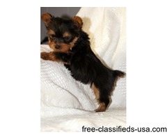 Lovely tiny teacup Yorkie Puppies
