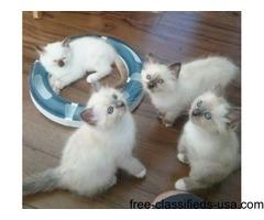 home traind Persian Kittens