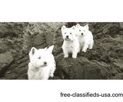 West Highland Terrier Pups