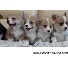 Pembrokeshire Welsh Corgi Puppies