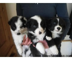 Welsh Collie Puppies