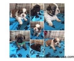 A KC REG SHIH TZU PUPPIES