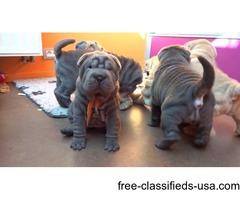 Gorgeous Shar Pei Puppies