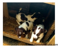 registered springer spaniels