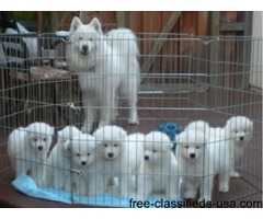 Pure White Samoyed Puppies