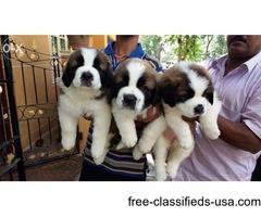 Saint Bernard Male Puppies