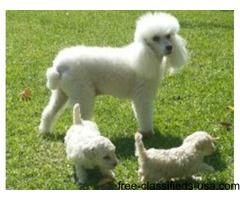 Poodle Puppies aKc Reg