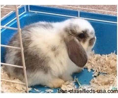 Holland Lop Baby Bunny (Male)- Cage and Supplies Included