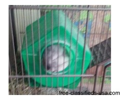 female chinchilla for sale by owner