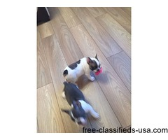 Gorgeous French Bulldog Puppies For Sale $300.