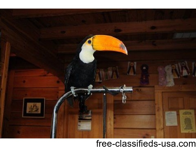 exotic toucans for sale 850 animals attica indiana