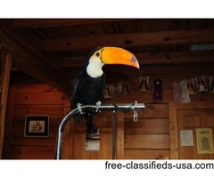 EXOTIC TOUCANS FOR SALE $850.