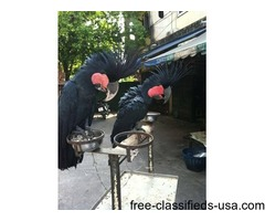A Pair Of Black Palm Cockatoo for Sale $875.