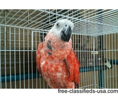 THE WORLDS 1st ALL RED AFRICAN GREY IN THE UNITED STATES!