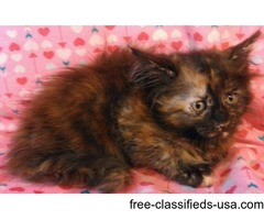 champion sired female maine coon kitten dob 6/17/16 patched brown