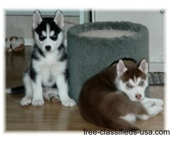 Sweet Siberian Husky Puppies available for new homes