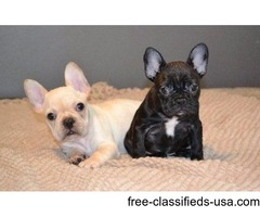 Well Socialized Brindle French Bulldogs Puppies Now Ready