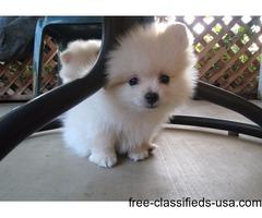 Purebred and Healthy Mini Tea Cup White Pomeranian Pups Ready