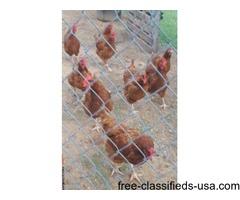 RIR Chicken Eggs