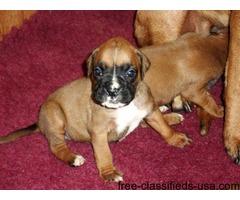 Boxer Puppies Bobtail & Longtail