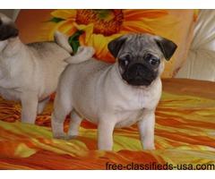 Beautiful Kc Reg Pug Puppies available