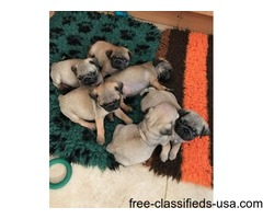 Stunning Pug Puppies 4