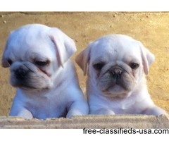 Two Teacup pug Puppies Needs a New Family | free-classifieds-usa.com