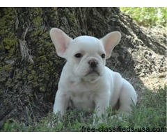 Male And Females Registered French Bulldog Puppies