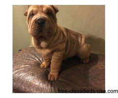 Chinese Shar Pie pups for sale