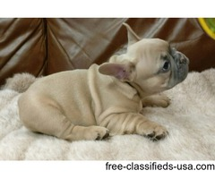 Beautiful Rare Silver/ Fawns And Black Pugs