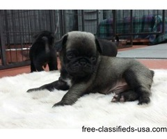 Adorable Fawns And Black Pugs Puppies