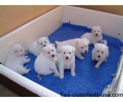 Excellent  Akita Puppies