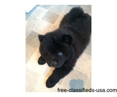 Top Kc Reg Chow Chow Puppies For Sale