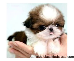 Quality AKC Shih Tzu Puppies
