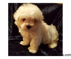 Kc Maltese Puppies - Licenced Breeder